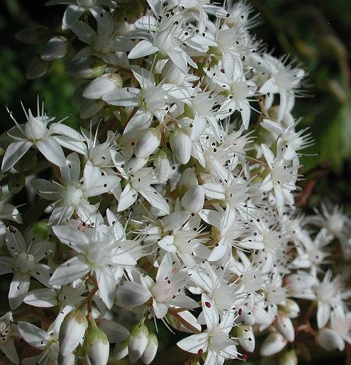 Weiße Fetthenne - Darstellung der Blüte
