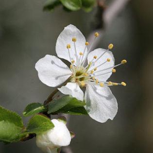 Mirabelle - Darstellung der Blüte