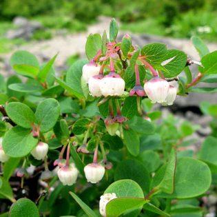 Rauschbeere - Darstellung der Blüte