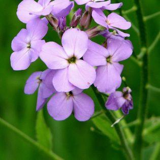 Gewöhnliche Nachtviole - Darstellung der Blüte
