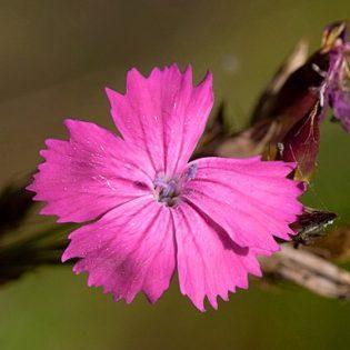 Kartäusernelke - Darstellung der Blüte