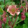 Bach Nelkenwurz - Darstellung der Blüte
