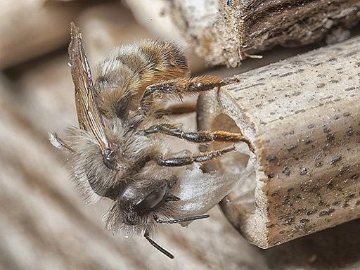 Mauerbiene an einer Nisthilfe