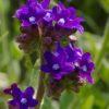 Gewöhnliche Ochsenzunge - Darstellung der Blüte