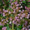 Oregano - Darstellung der Blüte