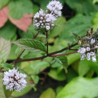Minze, Pfeffer - Darstellung der Blüte