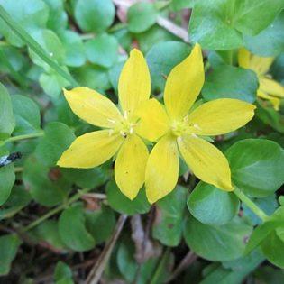 Pfennig-Gilbweiderich (Lysimachia nummularia) - Blüte