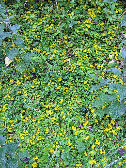 Pfennig-Gilbweiderich (Lysimachia nummularia) - Pflanze