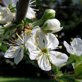 Pflaume - Darstellung der Blüte