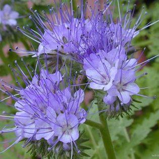 Rainfarn Phazelie - Darstellung der Blüte