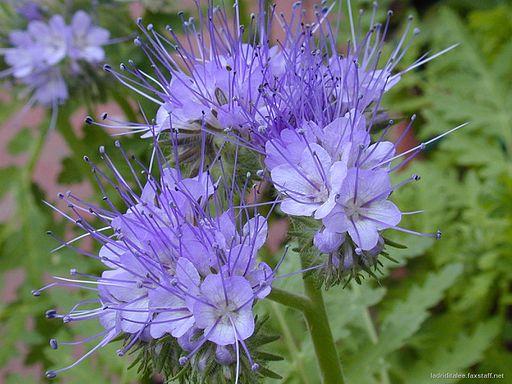 Phacelia - Darstellung der Blüte