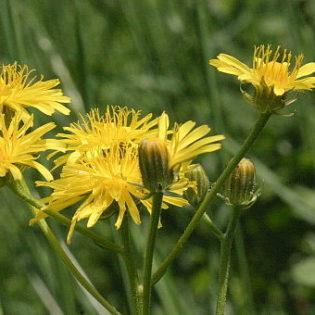 Wiesen Pippau - Darstellung der Blüte