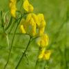 Wiesen Platterbse (Lathyrus pratensis) - Darstellung der Blüte