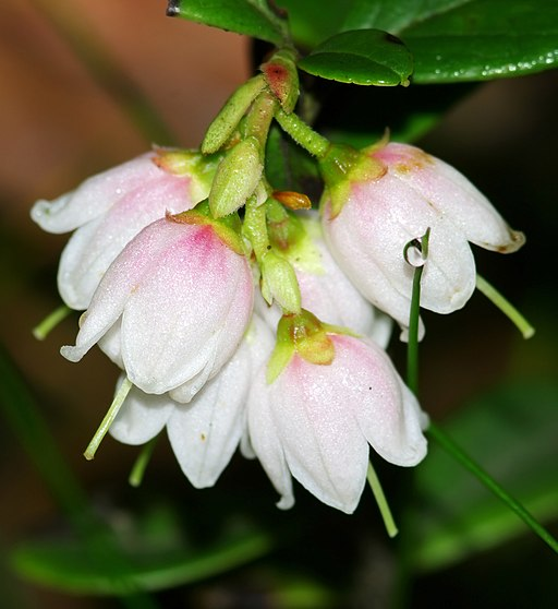 Preiselbeere - Darstellung der Blüte