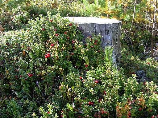 Preiselbeere - Darstellung der Pflanze