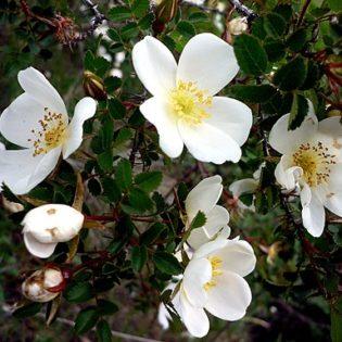 Bibernellrose - Darstellung der Blüte