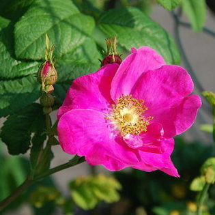 Essigrose - Darstellung der Blüte
