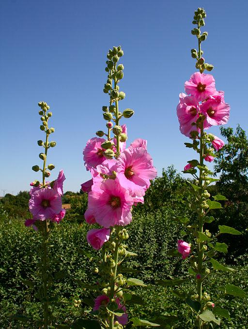 Stockrose - Darstellung der Blüte