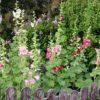 Stockrose - Darstellung der Pflanze