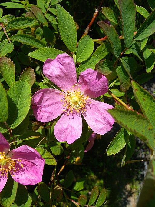 Zimtrose - Darstellung der Blüte