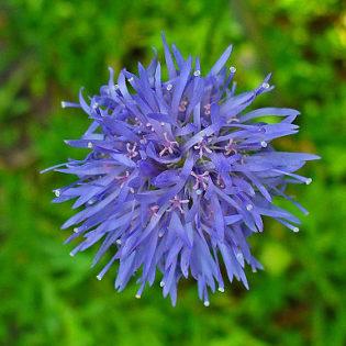 Jasione - Darstellung der Blüte