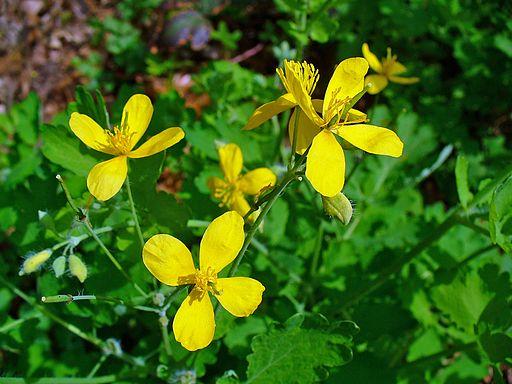 Schöllkraut - Darstellung der Blüte