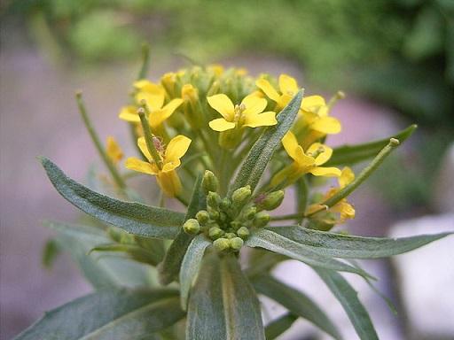 Acker-Schöterich - Darstellung der Blüte