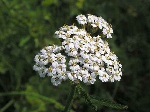 Gewöhnliche Schafgarbe - Darstellung der Blüte