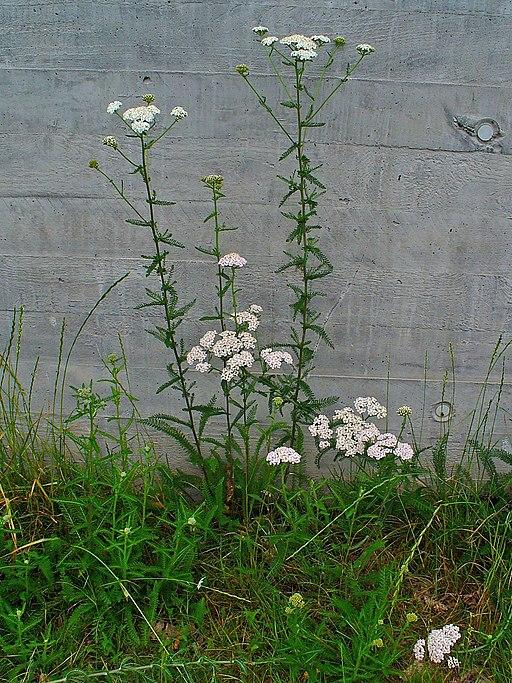 Gewöhnliche Schafgarbe - Darstellung der Pflanze
