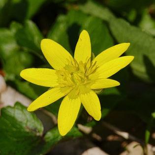 Scharbockskraut - Darstellung der Blüte