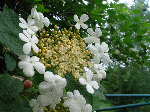 Gewöhnlicher Schneeball - Darstellung der Blüte