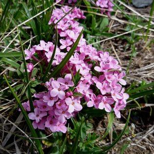 Rosmarin Seidelbast - Darstellung der Blüte