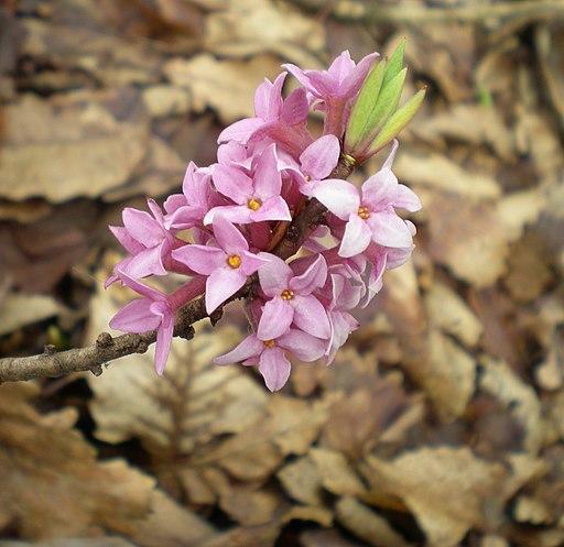 Seidelbast - Darstellung der Blüte