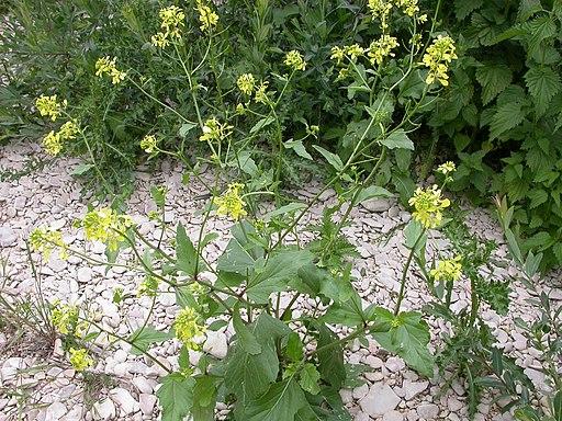 Ackersenf - Darstellung der Pflanze