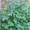Weißer Senf - Darstellung der Pflanze