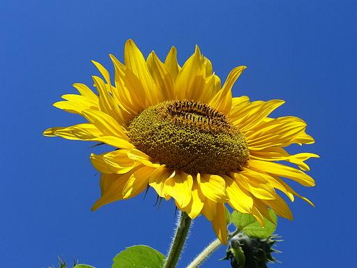 Sonnenblume - Darstellung der Blüte
