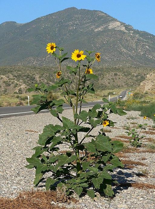 Sonnenblume - Darstellung der Pflanze