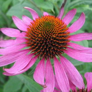 Purpur Sonnenhut - Darstellung der Blüte