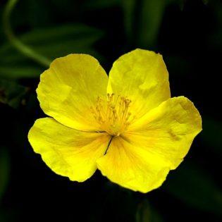 Gewöhnliches Sonnenröschen - Darstellung der Blüte