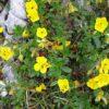 Gewöhnliches Sonnenröschen - Darstellung der Pflanze