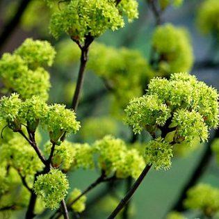 Spitzahorn - Darstellung der Blüte