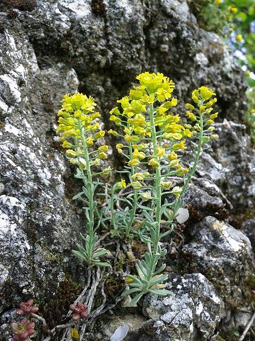 Steinkraut - Darstellung der Pflanze
