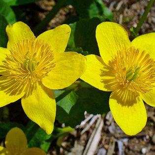Sumpfdotterblume - Darstellung der Blüte