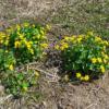 Sumpfdotterblume - Darstellung der Pflanze