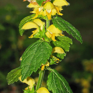 Echte Goldnessel (Lamium galeobdolon) - Darstellung der Blüte