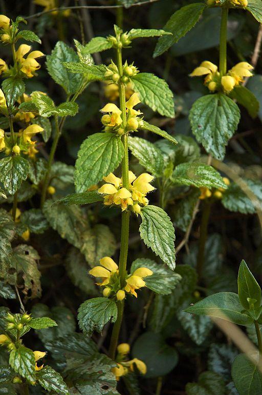 Echte Goldnessel (Lamium galeobdolon) - Darstellung der Pflanze