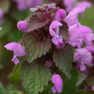 Purpurrote Taubnessel - Darstellung der Blüte