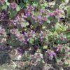 Purpurrote Taubnessel - Darstellung der Pflanze