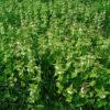 Weiße Taubnessel - Darstellung der Pflanze