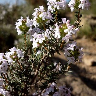 Thymian - Darstellung der Blüte